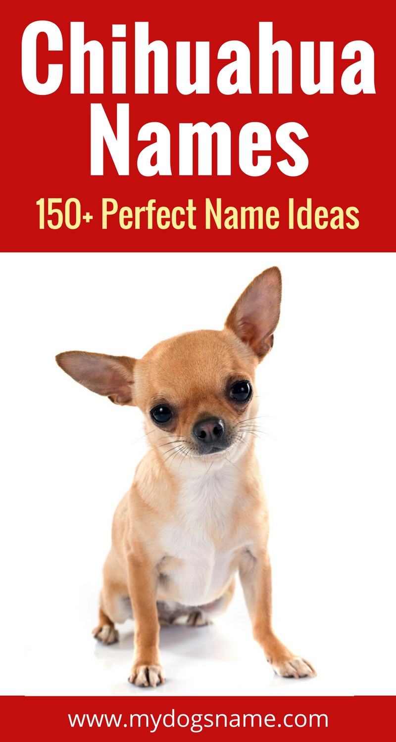 150 Awesome Chihuahua Name Ideas You Ll Love These Names Perfect For A Tiny Tot Dog Names Don T Get Better Than Chihuahua Names Dog Names Chihuahua Puppies