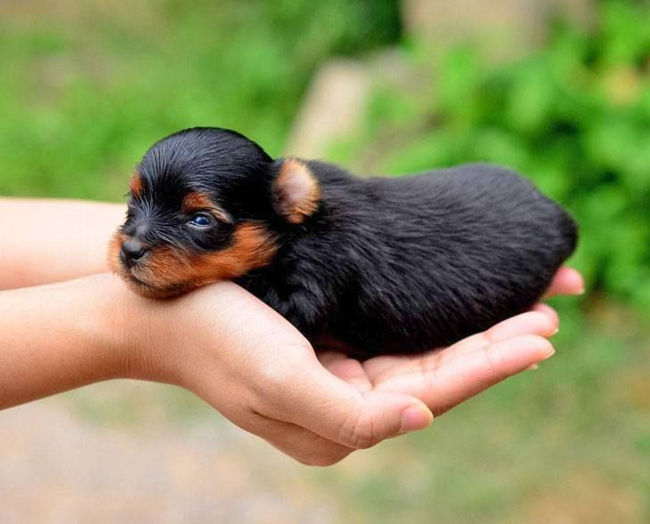What Do You Think Would Be A Cute Yorkie Puppy Name For This Little One