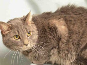 LIGER – A1107639 - 8yrs  NEUTERED MALE, BRN TABBY / WHITE, DSH - Owner dumped his 8 yr old cat for allergies - neutered boy is upset and needs out now!