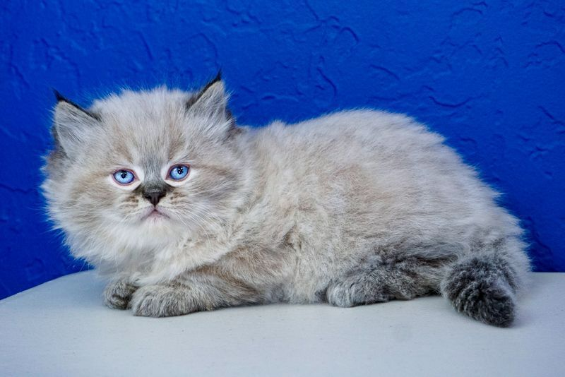 Ragdoll Kittens For Sale Near Me Ragdoll Kittens