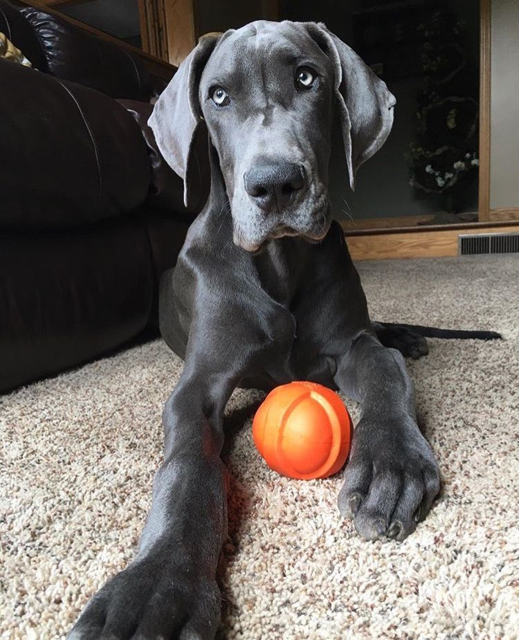 Blue Great Dane Would Need A Big House For A Big Dog Great