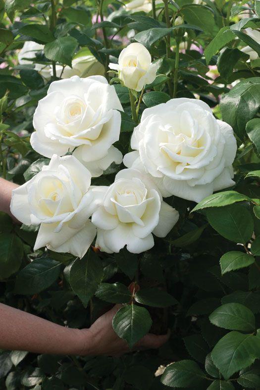 White Garden Rose Bush sugar moon rosehybrid tea rose that glows like moonlight, with