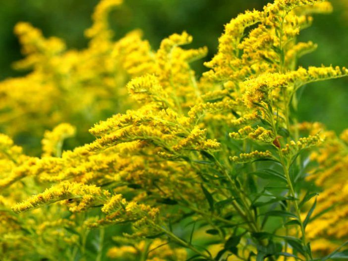 How To Grow And Care For Goldenrods World Of Flowering Plants Goldenrod Flower Plants Planting Flowers