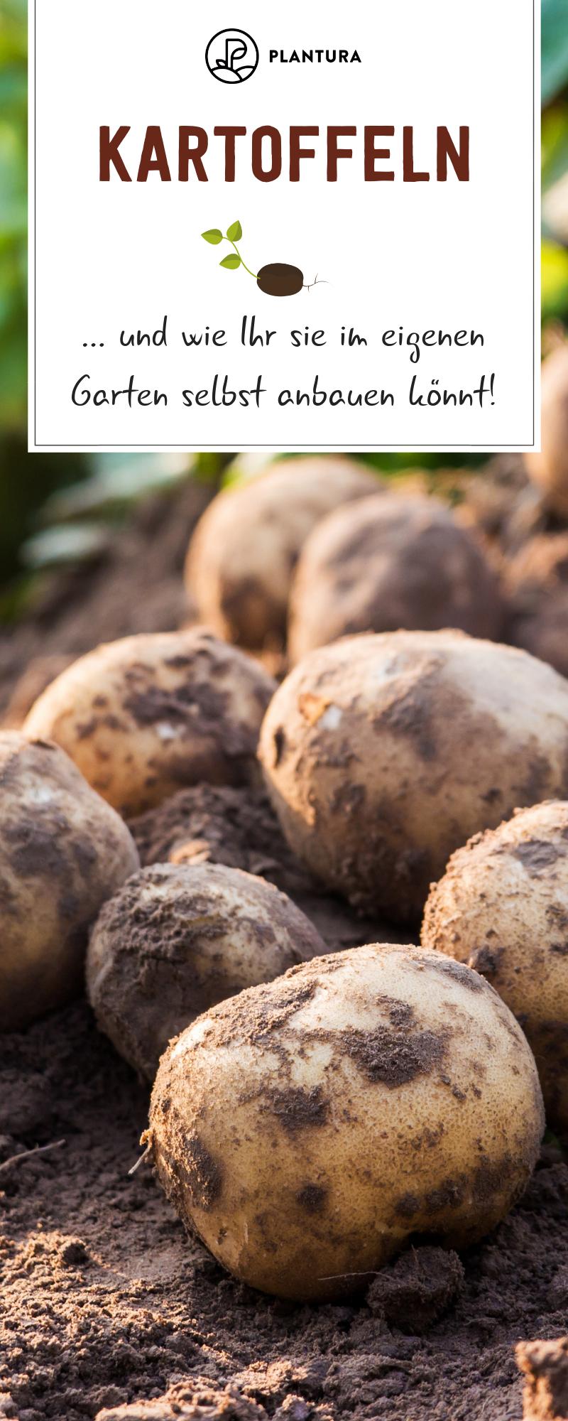 10 Tipps Fur Den Kartoffelanbau Im Eigenen Garten Plantura Garten Gemusegarten Anlegen Gemuse Anbauen