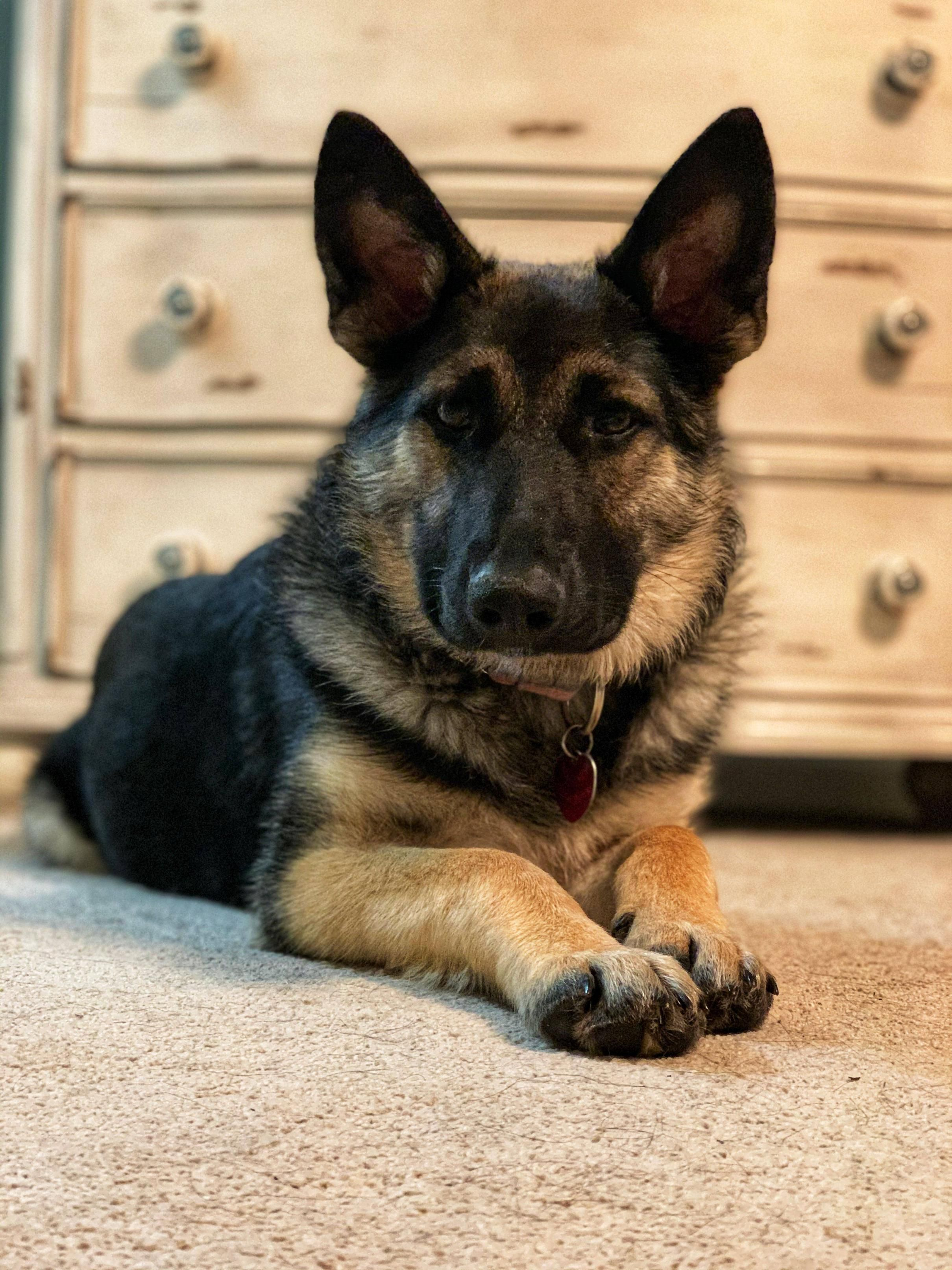 44 German Shepherd Mix Breed Reviews Unique Dog Breeds Dog