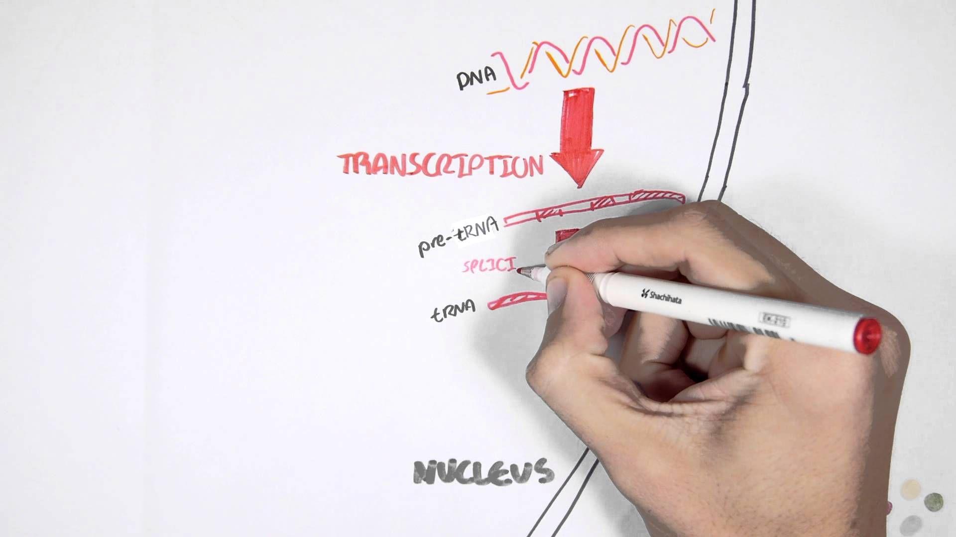 Transcription And Translation Simple Explanation