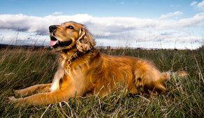 Cão, campo, língua