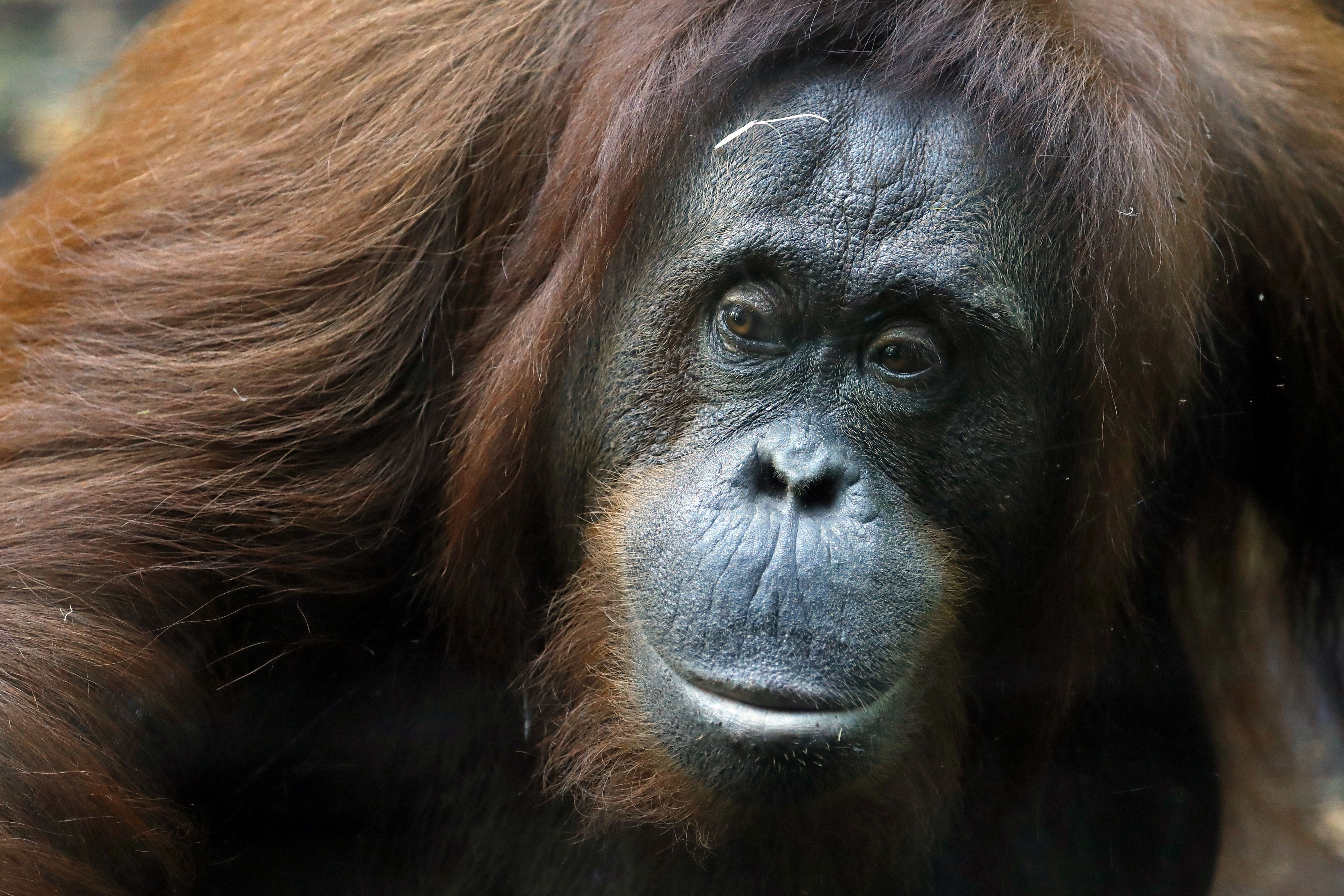 """nice Dating - Orangutan to Preview Potential Mates With """"Tinder For Apes"""" at Dutch Zoo Check more at https://speeddating.tn/dating-orangutan-to-preview-potential-mates-with-tinder-for-apes-at-dutch-zoo/"""