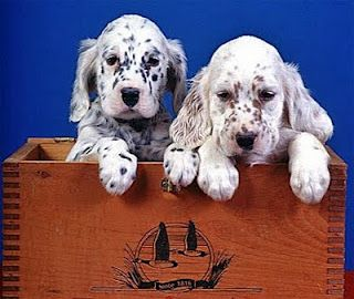 English setters...best dogs ever!