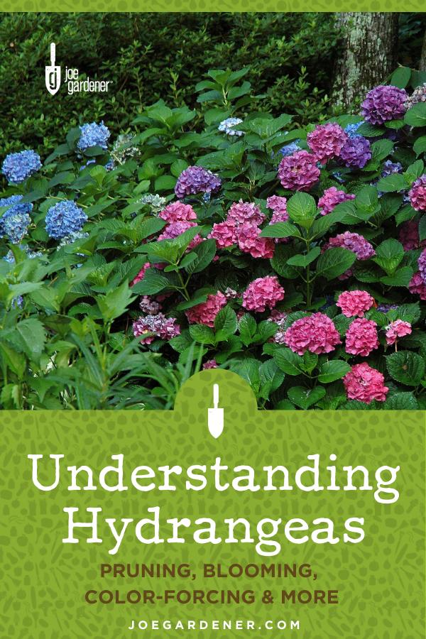 Understanding Hydrangeas In 2020 Pruning Hydrangeas Hydrangea Not Blooming Growing Hydrangeas