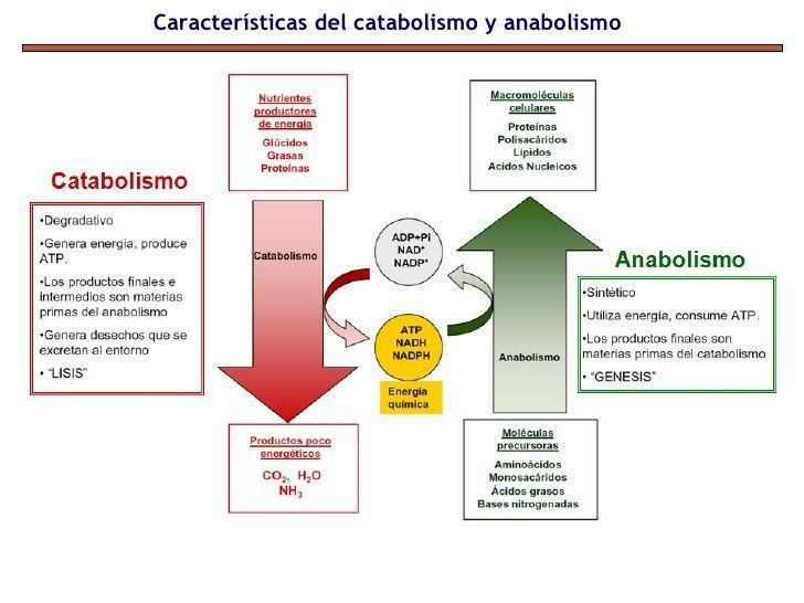 Anabolismo Y Catabolismo Son Dos Fenómenos Que Ocurren En El Metabolismo Celular En El Cual Las Sustancias Metabolismo Biologia Metabolismo Celular Anabolismo