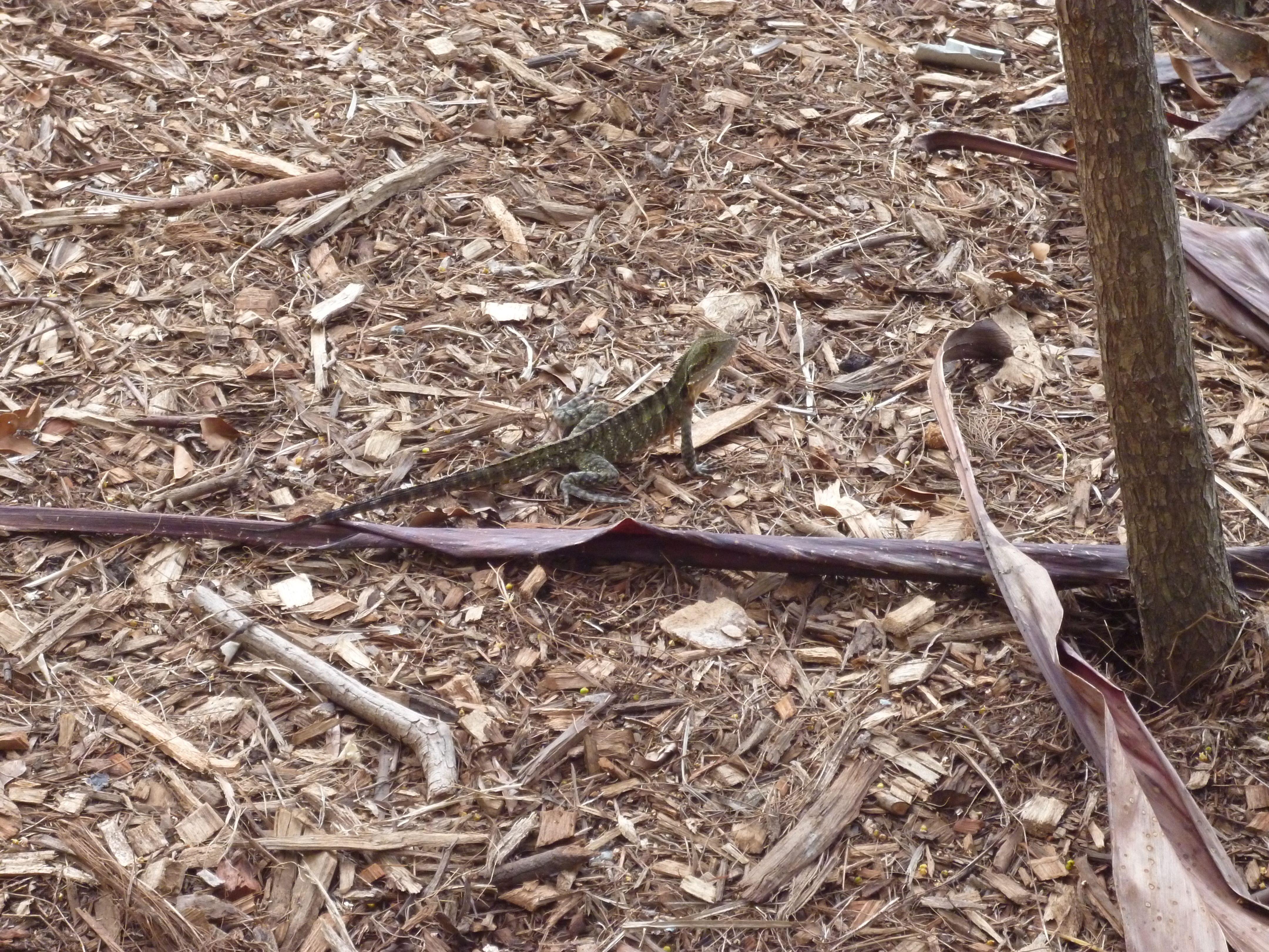 Lizard in Botanical Garden.