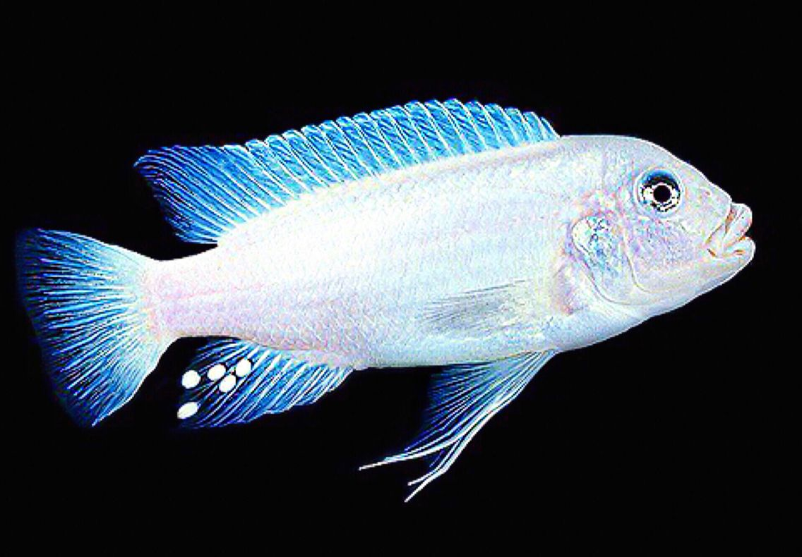 Snow white mbuna cichlid scientific name petrotilapia for Lake malawi fish