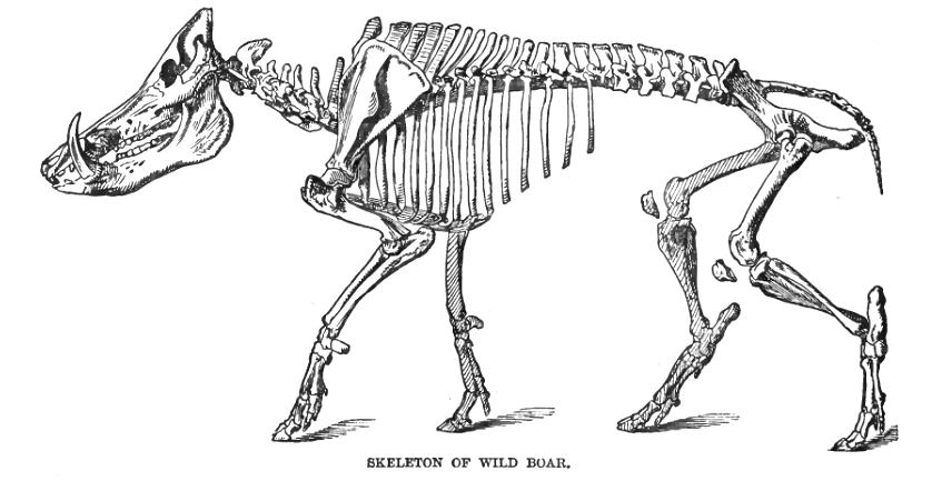 Wild boar skeleton. | tattoo ideas | Pinterest | Wild boar ...