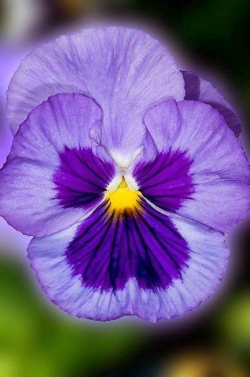 Purple Pansy My Blom Vir Jou Vanaand Pansies Flowers Pansies Purple Pansy