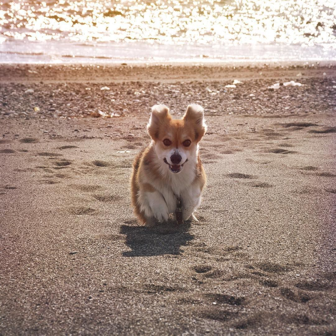 . Majic hour..Curro has pretty ears..On the beach. . Location : Kochi-JAPAN Post : 2016.2.9 Thank you for checking my pictures.  #nikonforever #igShotz #corgi #corgis_of_instagram #team_jp_  #1x5 #Love_United_Team #far_eastphotography #ファインダー越しの私の世界 #ちゃびくろ地球防衛軍 by chabi1217