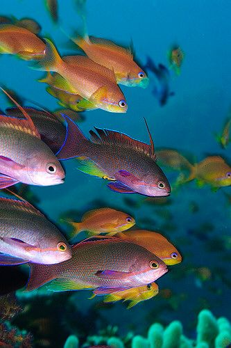 colorful anthias, Fiji