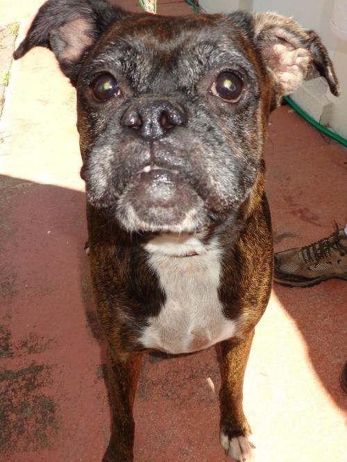 Boxer dog for Adoption in Bradenton, FL. ADN602010 on
