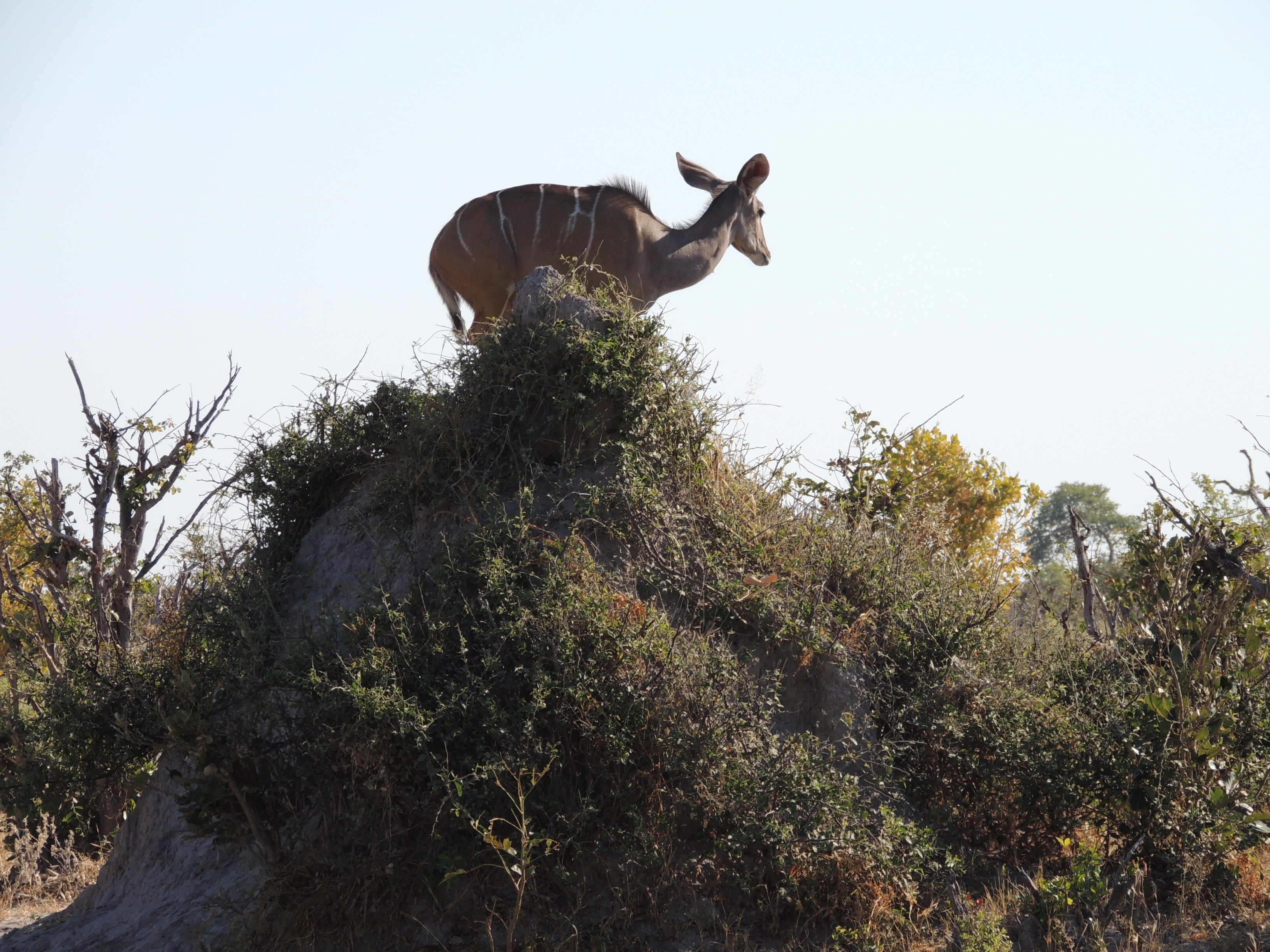 Female kudu atop an abandoned termite mound