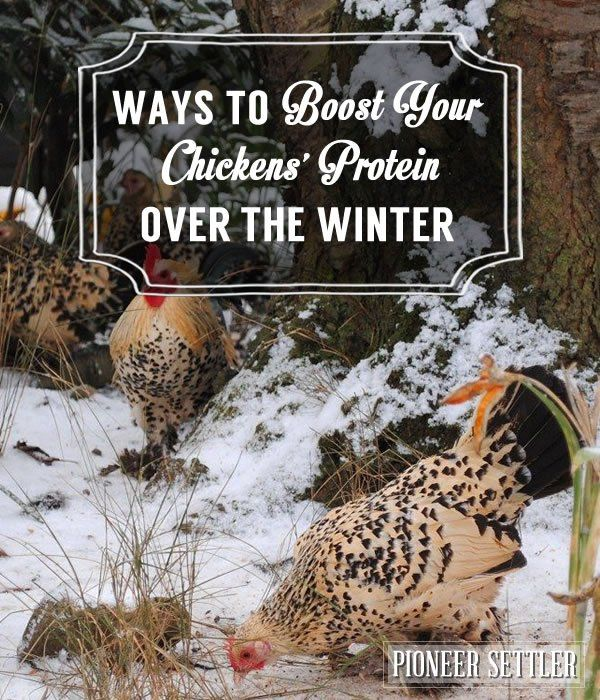 Easy Ways To Boost Your Chickens' Protein Over The Winter