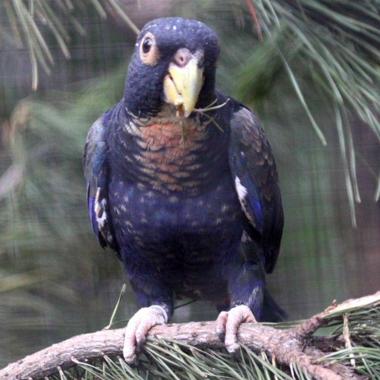 Bronze-winged Pionus