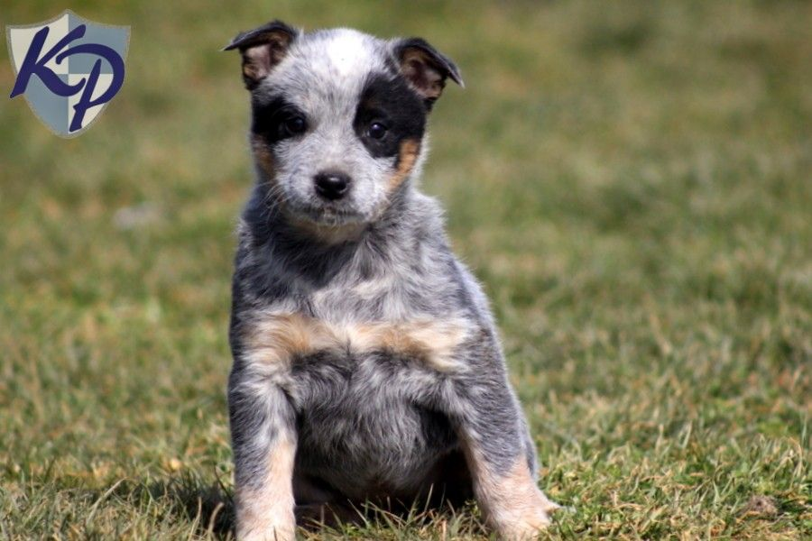 Puppy Finder Find Buy A Dog Today By Using Our Petfinder Blue Heeler Puppies Heeler Puppies Puppy Dog Pictures