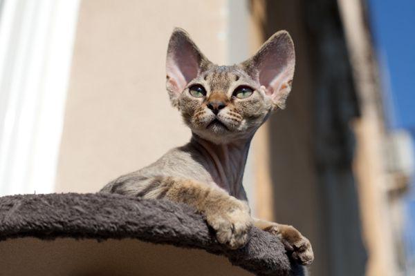 Devon Rex Kitten Stanley 3 Months Devon Rex Cats Rex Cat