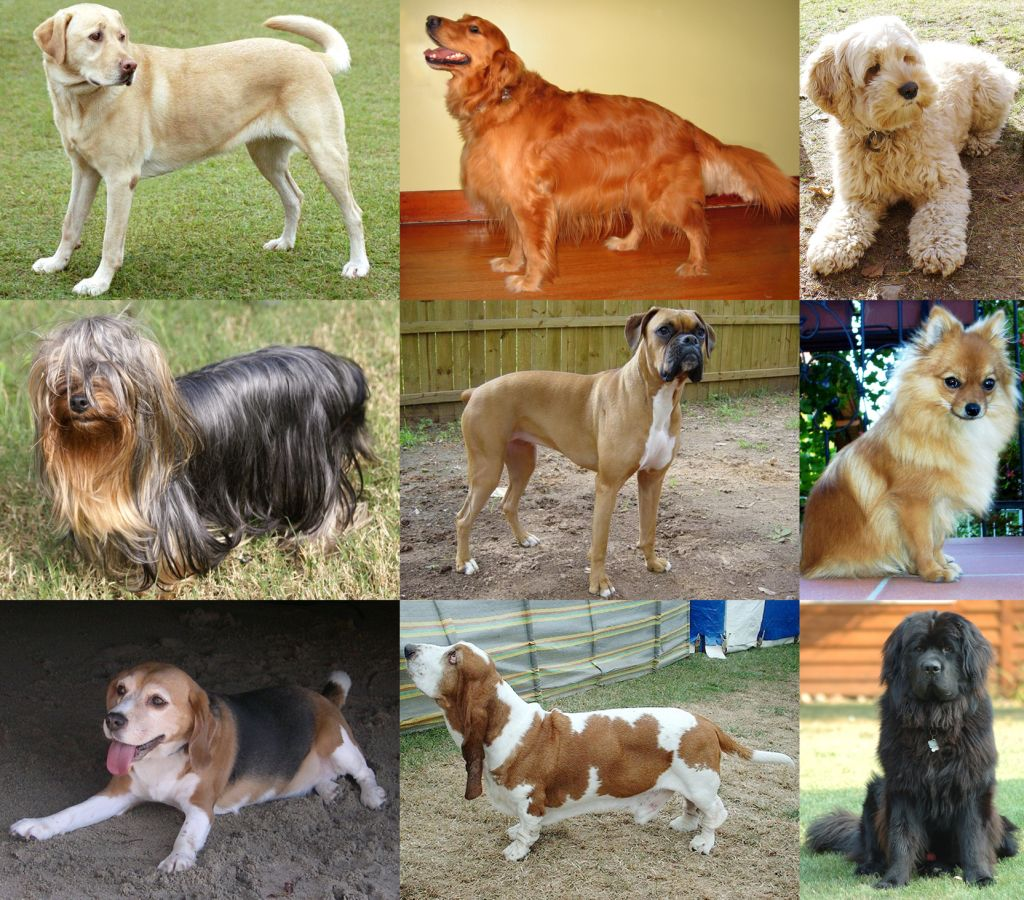 Top 10 Most Popular Dog Breeds In The Uk Labrador Puppy Most Popular Dog Breeds Dog Breeds