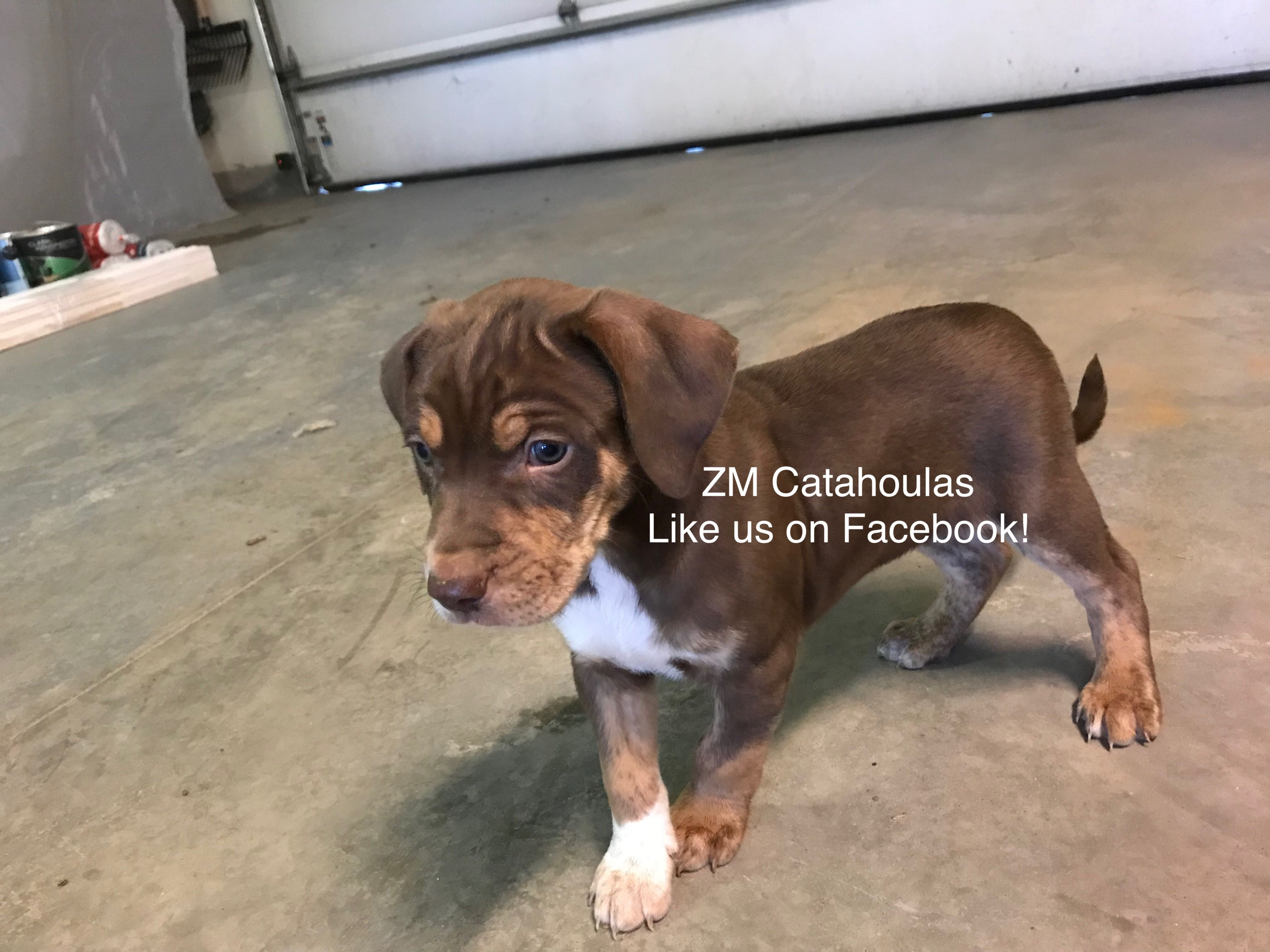 Pin By Makayla Hornung On Zm Louisiana Catahoulas With Images Dogs Animals Louisiana