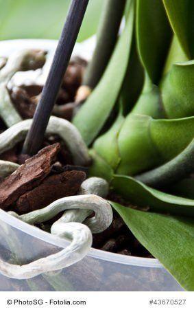 Die h ufigsten fehler bei der orchideen pflege im for Besondere topfpflanzen