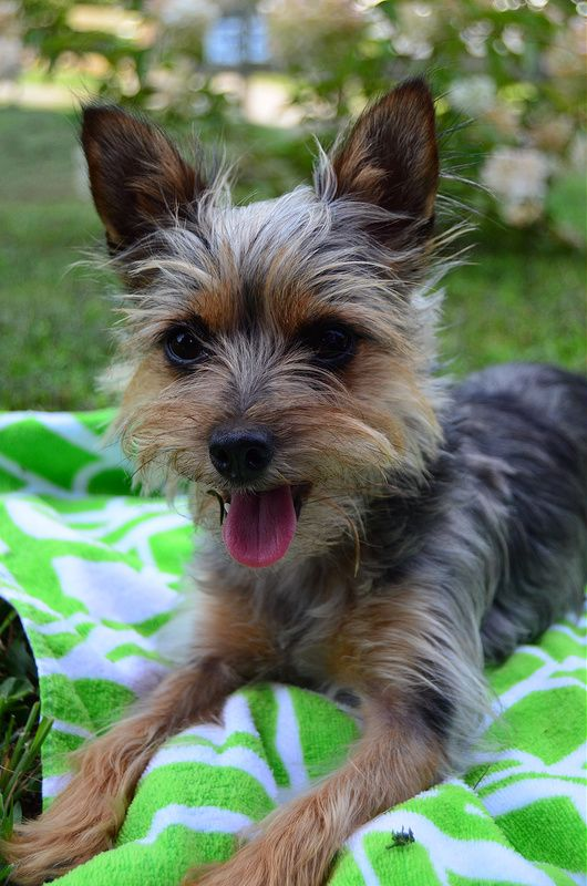 Cute lil' Chorkie! ☺ (With images) Yorkie chihuahua mix