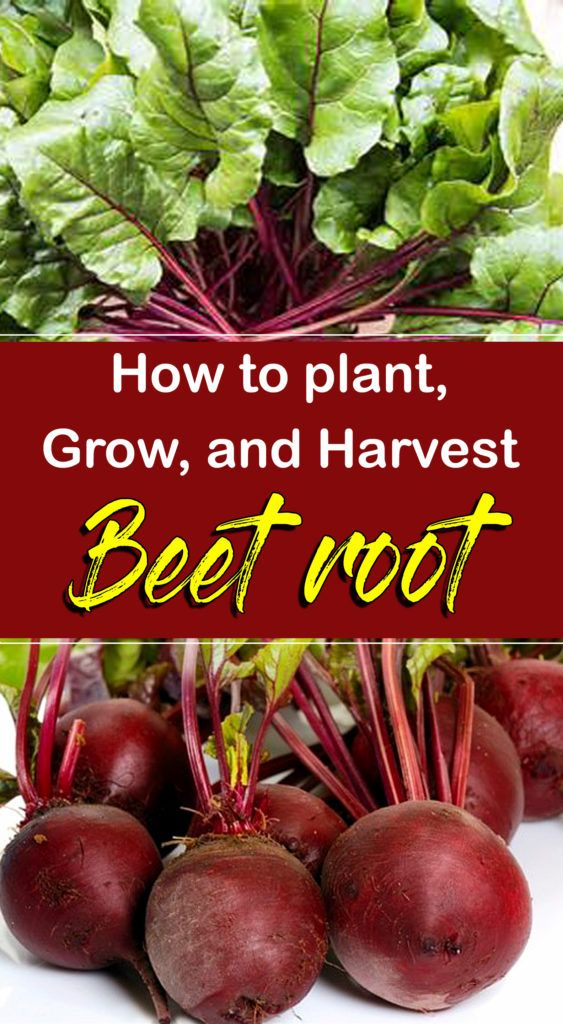 How To Grow Beets Growing Beets In Pots Beetroot Vegetable Growing Beets Growing Vegetables Indoors Beetroot