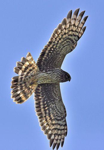 Hen Harrier Rovfugle Og Fugle