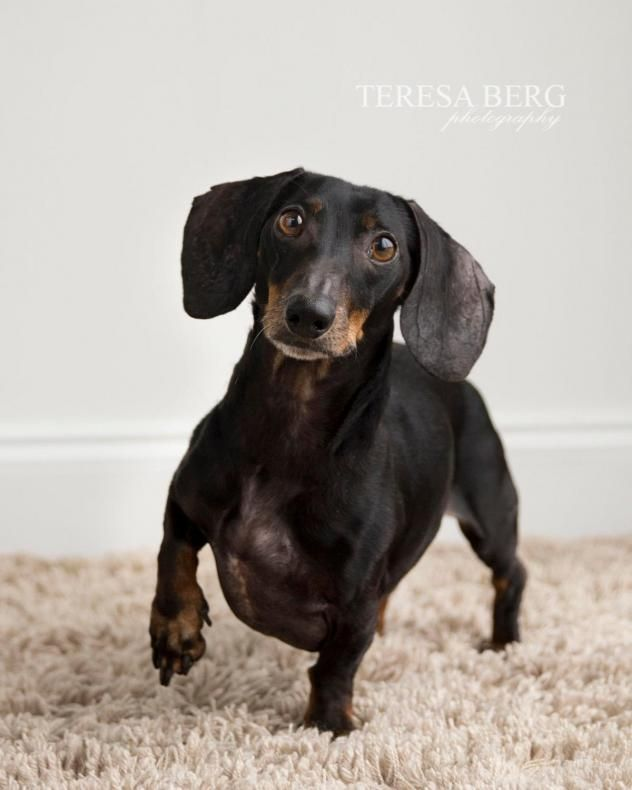 Adopt Keesler On Doxie Puppies Dachshund Rescue Dachshund Dog
