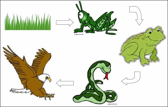 Bildresultat för food chain frog Cadena alimentaria