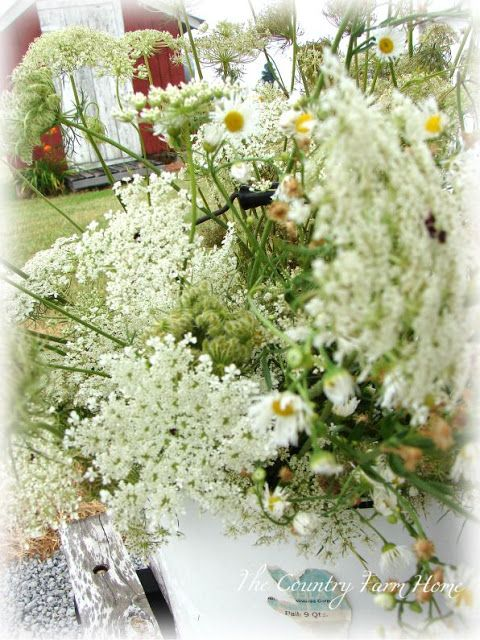 The Country Farm Home: Drying and Dying Queen Anne's Lace