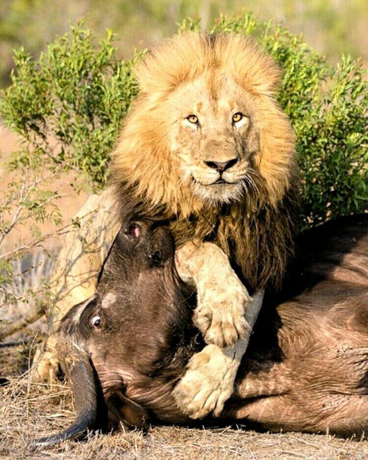 Pin By Hatem Elhabashy On Animals Lions Photos Cat Spray Animals Beautiful