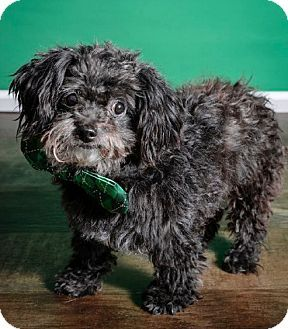 Whitehall, PA Shih Tzu/Terrier (Unknown Type, Small) Mix