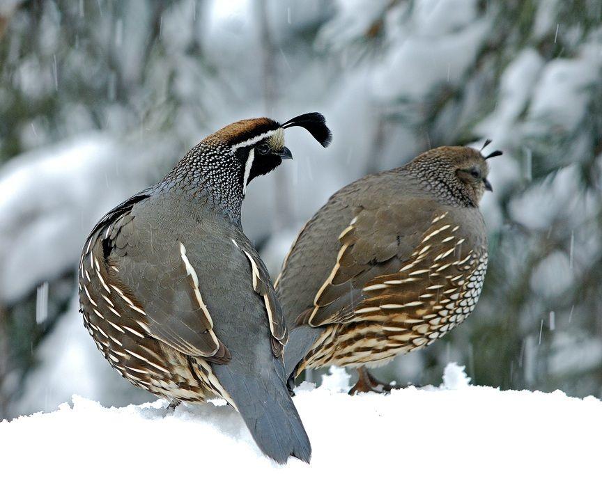California quills beautiful birds pet birds beautiful