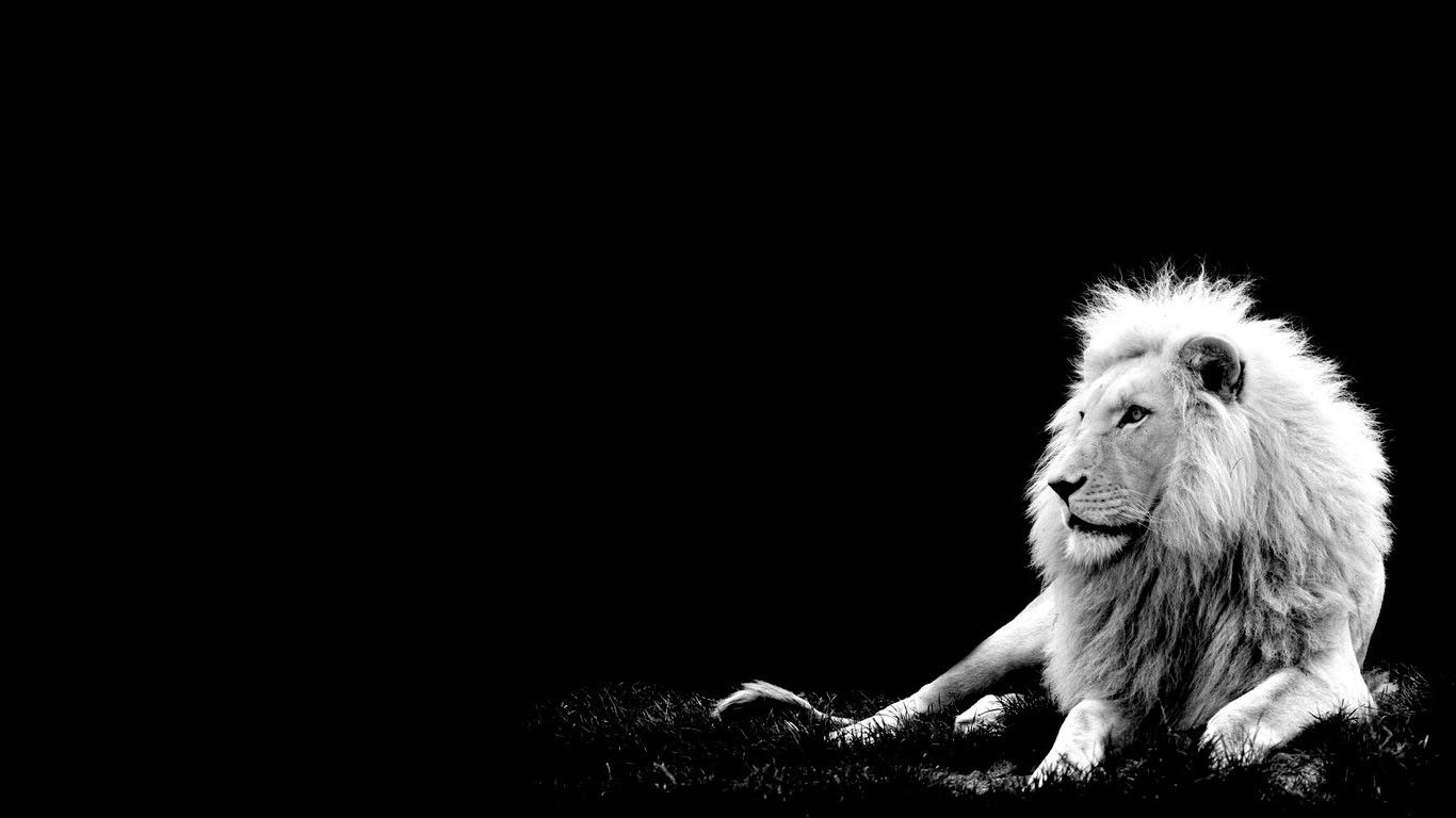 White Lion Wallpaper With Images White Lion Black And White