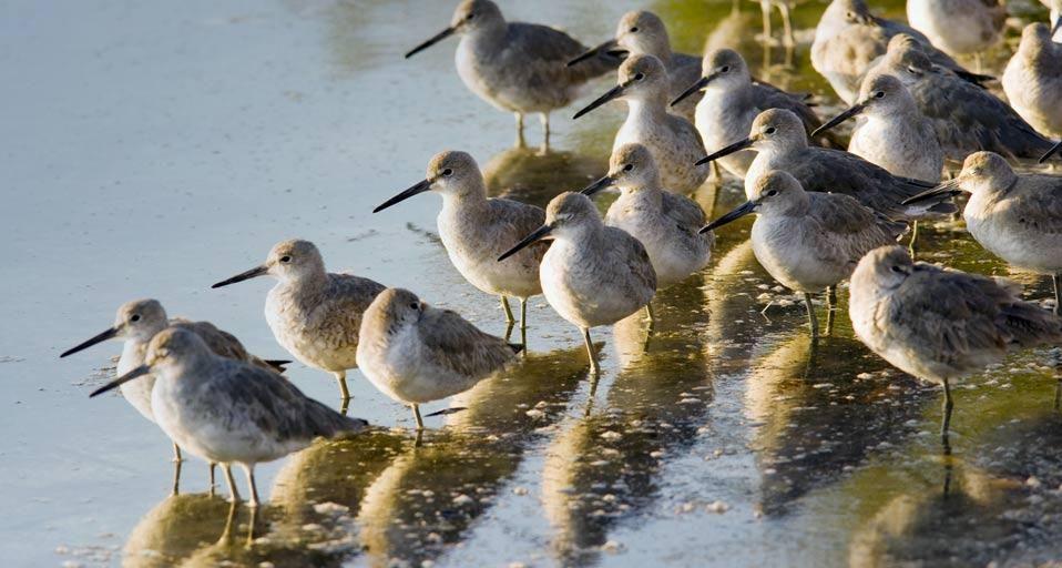 """Bing Image 2-Apr-12 (Willets in J. N. """"Ding"""" Darling National Wildlife Refuge on Sanibel Island, Florida)"""