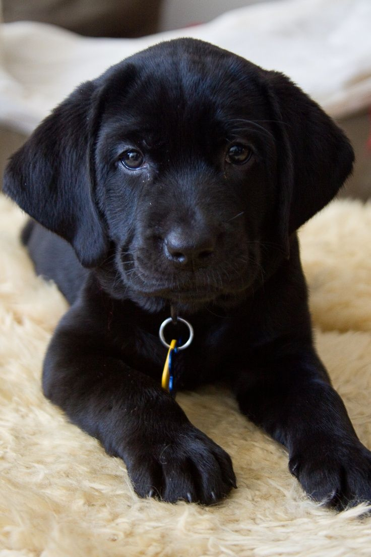 Own a chocolate lab puppy and take care of it for its entire life ...