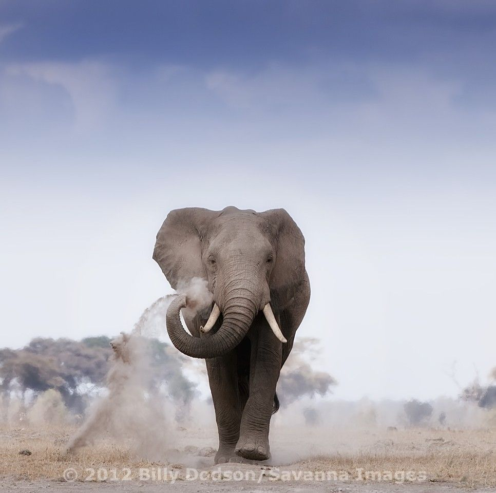 500px / Young Bull Elephant at Amboseli by Billy Dodson