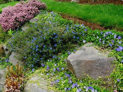 The pink flowers on the left are heather (Erica sp.), the medium blue flowers in the middle are Lithodora, and the light blue flowers at right are periwinkle (Vinca sp). As with candytuft, all three of these should be sheared or cut back after blooming to keep them compact.