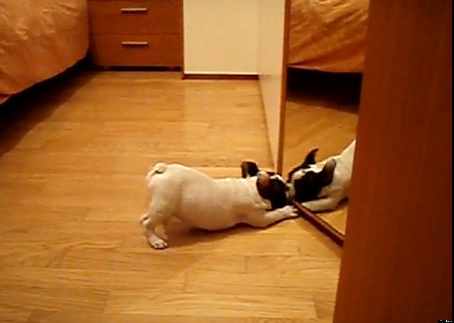 French Bulldog Puppy Vs Mirror Video Puppies French Bulldog