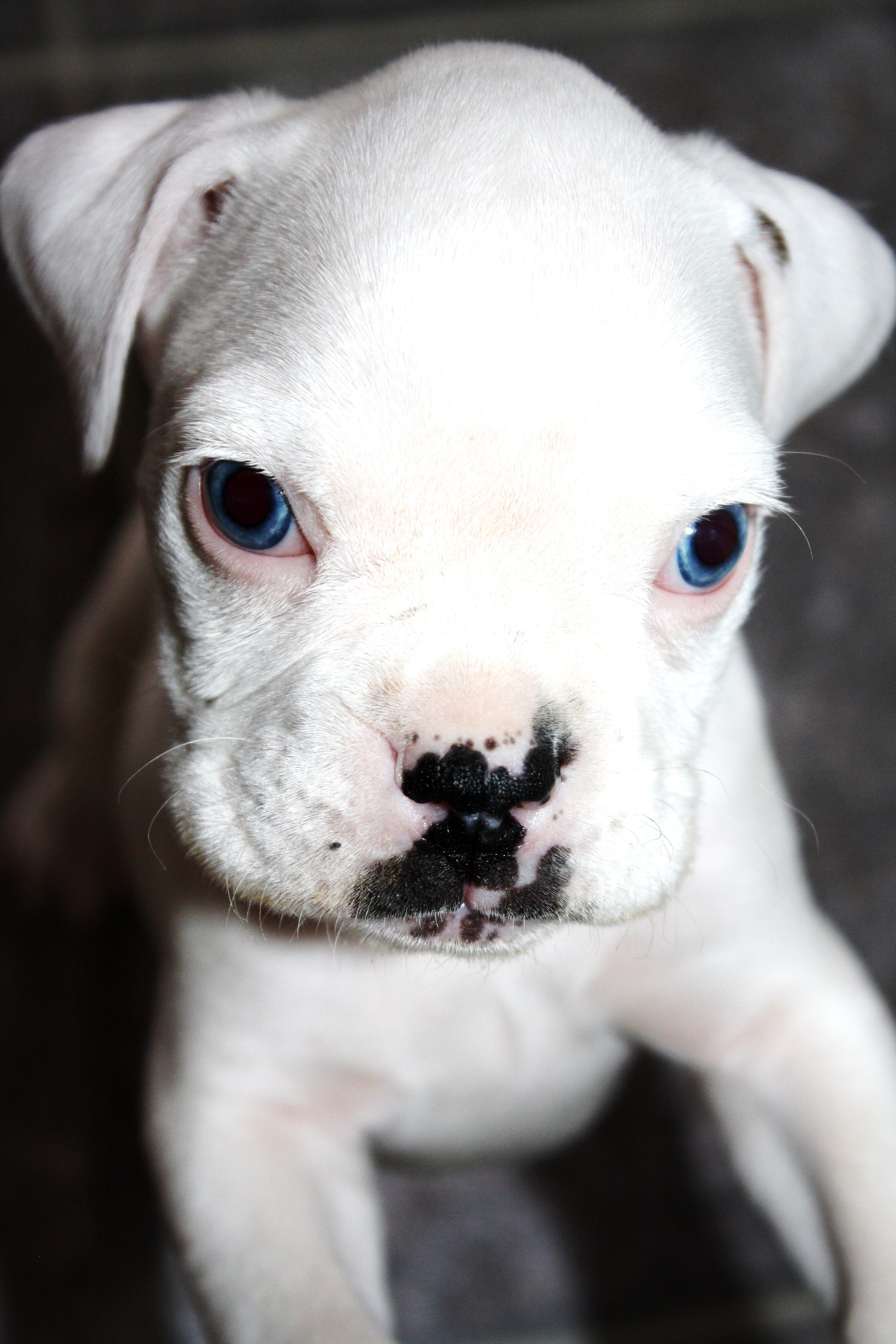 White Boxer Puppy Fenway By Ashley Lebel With Images White