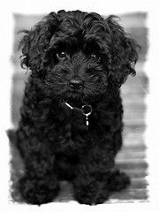 Adopt A Black Cavoodle Cavapoo Puppies Dogs Cockapoo Puppies