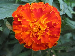 Gardening for Butterflies  Marigold. so easy to grow from seeds. Great for kids to start from seed and watch grow to be a beautiful flower. Fast grower as well. Jt