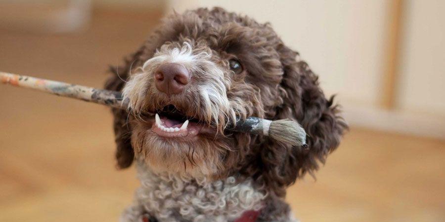 Lagotto Romagnolo Price, Temperament, Life span Dog