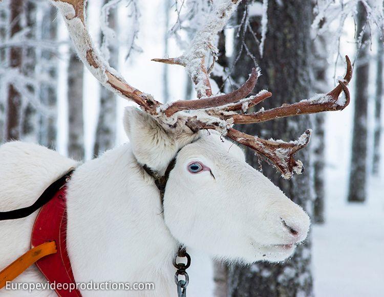rentiere in schwedisch lappland einfach weihnachten. Black Bedroom Furniture Sets. Home Design Ideas